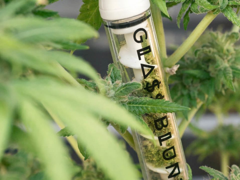 Glass blunt between herb plants