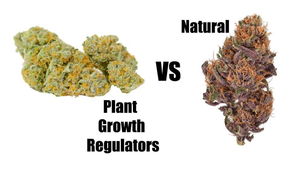 , The Dangers of Plant Growth Regulators in Weed, Glassblunt, Glassblunt