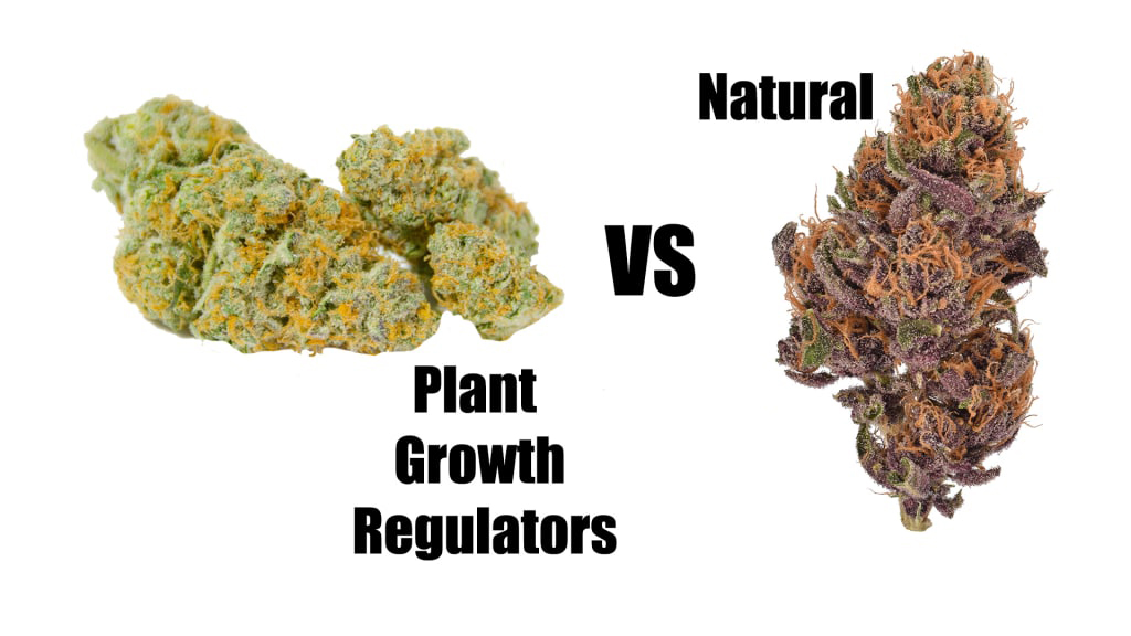 , The Dangers of Plant Growth Regulators in Weed, Glassblunt, Glassblunt